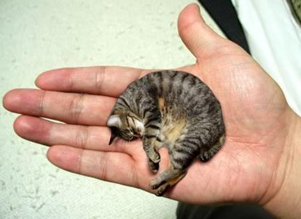 Cat - very small Mr Peebles.jpg